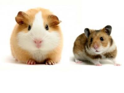 Cavia en hamster