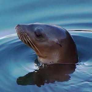 zeeleew of zeehond