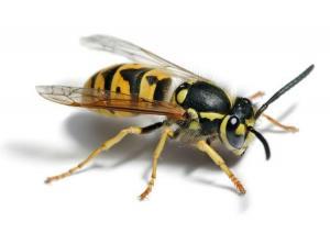 Wat Is Het Verschil Tussen Bijen En Wespen Een Antwoord Op Uw